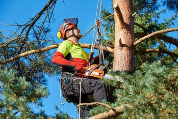 A tree surgeon trimming branches from a tree